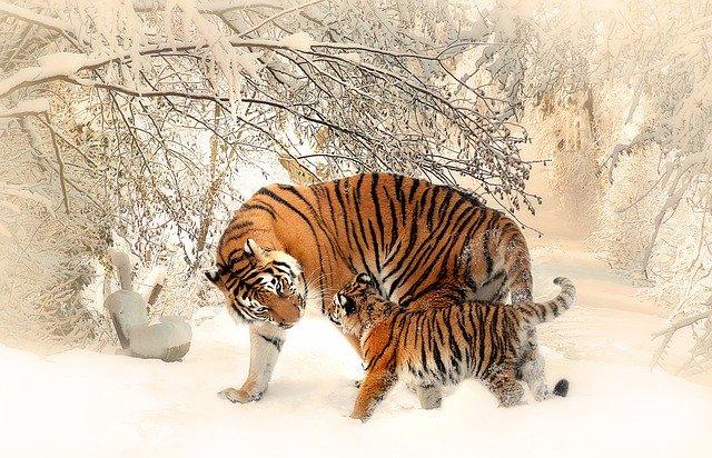 Kočkovitá šelma  – tygr