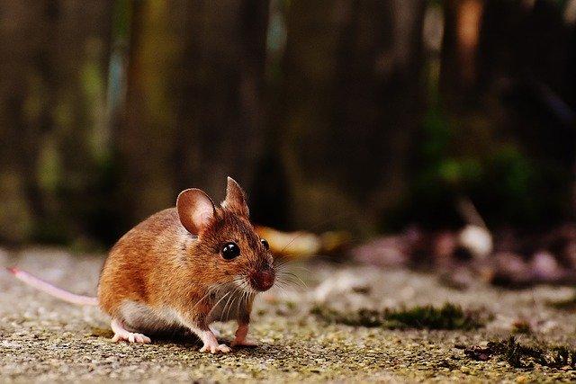 myš a cesta