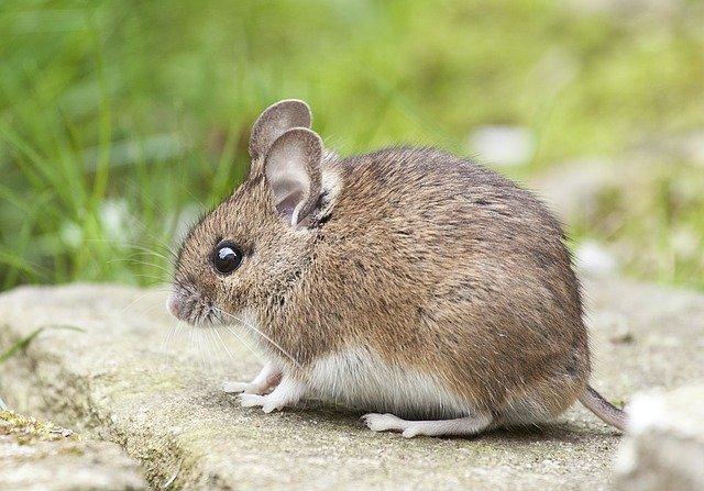 myš a tráva